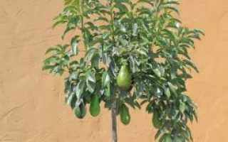 Как часто поливать авокадо в домашних условиях