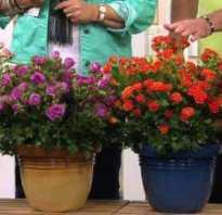 Как поливать розу в горшке в домашних условиях