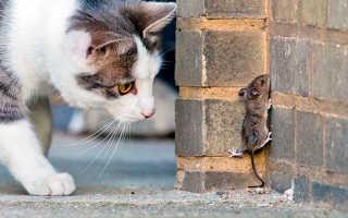 Можно ли есть мышей кошкам